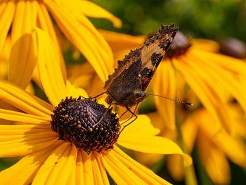 Wilde vlinder op een gele zonnehoed von Frank Hoekzema