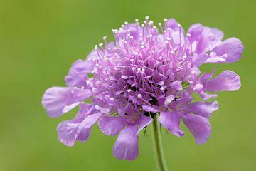 lila bloem van Daan van Oort