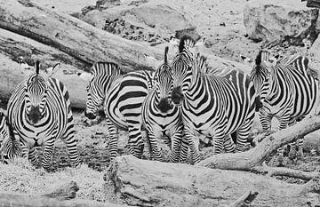 Zebra groep van Martine Moens