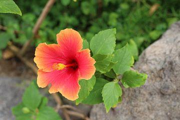 Hawaiianischer Hibiskus von Marvin Taschik