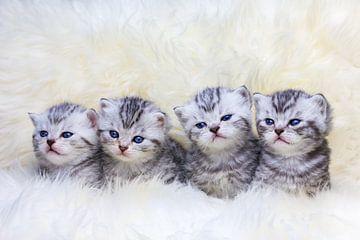 Reihe von vier jungen Kätzchen sitzen auf Schaffell von Ben Schonewille