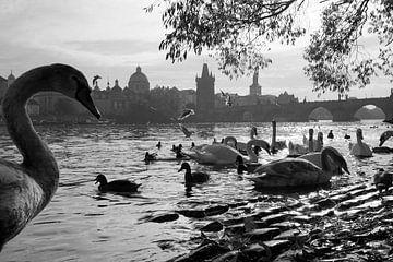 Watervogels in Praag van Mathieu Klomp