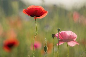 Klaproos veldbloemen van Jeannette Braamskamp