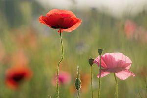 Klaproos veldbloemen