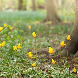 yellow forest tulip von Marijke van Eijkeren