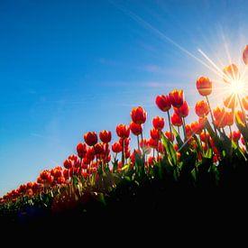 Tulpen van een laag standpunt gefotografeerd van Ardi Mulder