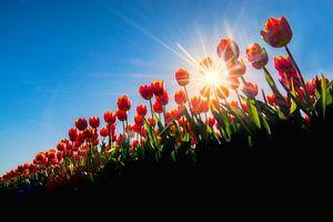 Tulpen van een laag standpunt gefotografeerd