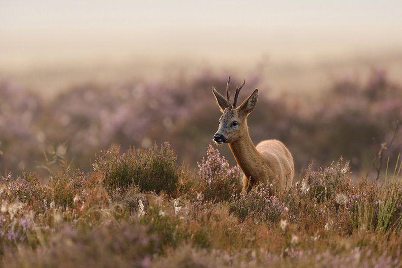 Reh, Rehbock ( Capreolus capreolus ), in blühender Heide, typischer, leicht nebeliger Spätsommermorg von wunderbare Erde