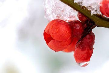 Een rode bloem van de Japanse sierkwee plant in de sneeuw en ijs. van Joeri Mostmans