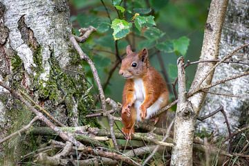 eekhoorn tussen de berken