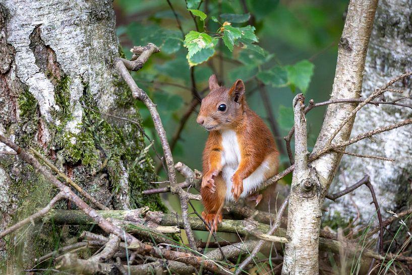 eekhoorn tussen de berken van Jaap Tempelman