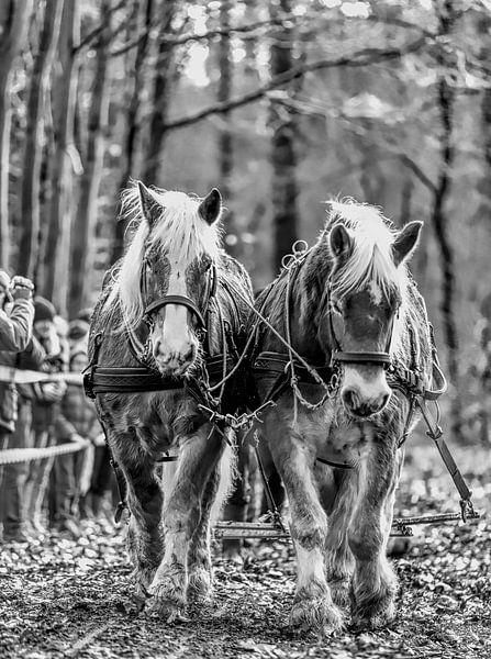 Trekpaardendag van Reint van Wijk