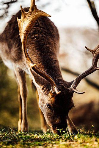 Natuurfotografie - Hert