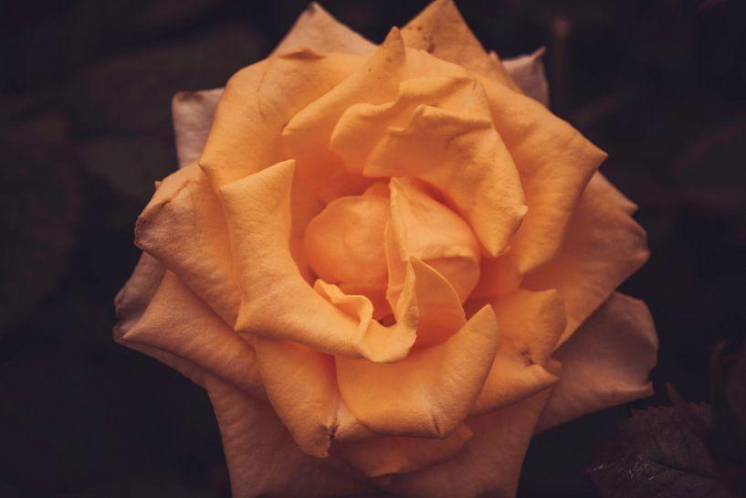 Oranje roos van Koop je Canvas