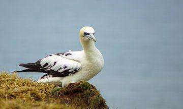Vögel an den Bempton Cliffs von Babetts Bildergalerie