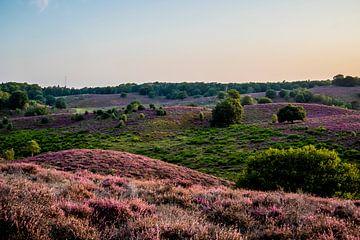 Heide op Veluwe in volle bloei van Marcel Krijgsman