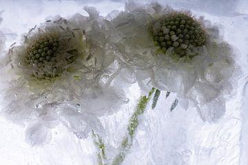 Weiße Scaevola in Eis 3 von Marc Heiligenstein