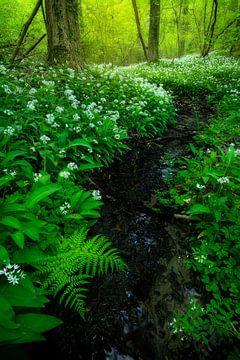 Velden vol met daslook in de bossen van Zuid-Limburg. van Jos Pannekoek