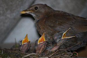 Nest jonge merels van Sebastiaan  van Beem