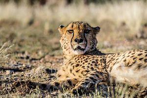 Cheetah gespot!  van