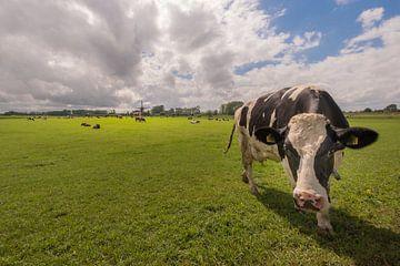 Nieuwsgierige koe bij molen van Moetwil en van Dijk - Fotografie