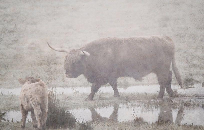 Schotse Hooglander in het water van natascha verbij