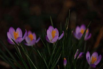 Krokus, der Frühling kommt von Lindy Schenk-Smit