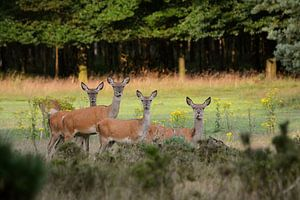Edelherten in het Deelerwoud (Veluwe)