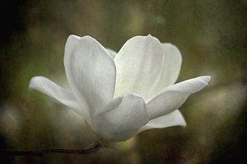 Magnolien Blüten In Grüner Landschaft von Diana van Tankeren