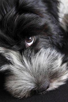 Schapendoes Polle Puppy van Wybrich Warns