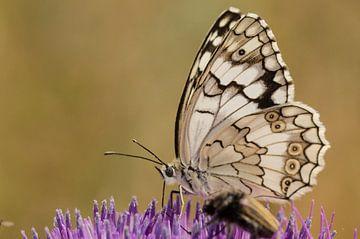 Parelmoer vlinder van