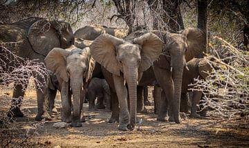 Eine Elefantenherde im Krüger-Park (Südafrika). von Claudio Duarte
