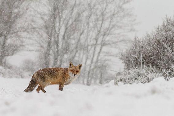 Winter vos van Menno Schaefer