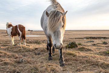 Icelandic horses in winter sur Inge Jansen