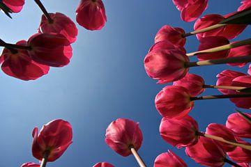 Roze tulpen von Ties van Veelen