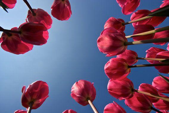 Roze tulpen van Ties van Veelen