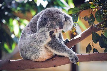 Koala sur Eveline van Beusichem