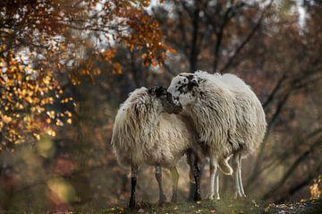 Twee schapen samen op de Brunssumerheide van Boudewijn Tempelmans