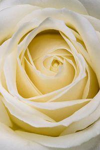 Gros plan, rose blanche sur Studio 305
