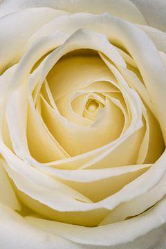 Nahaufnahme von einer weißen Rose von Arie de Korte
