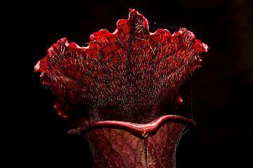 Trompetbekerplant - Sarracenia cv juthatip soper von Rob Smit
