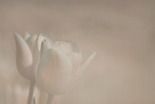 Tulp in zachtlicht van