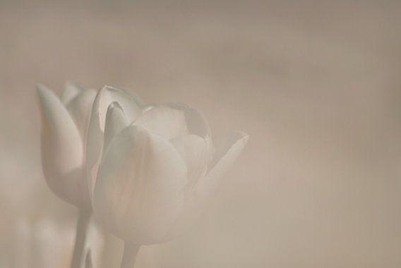 Tulp in zachtlicht