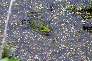 Groene kikker van Merijn Loch