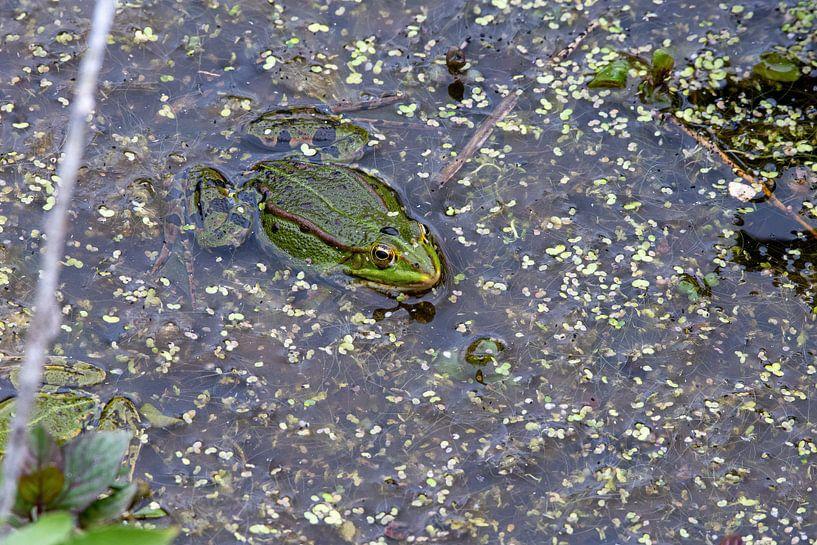Grüner Frosch von Merijn Loch