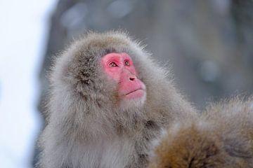 Snow monkey 1 van