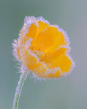 Butterblume mit Eiskristallen von Albert Beukhof