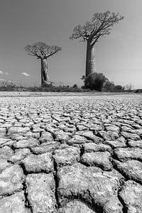 Woestijn Baobabs in zwartwit van