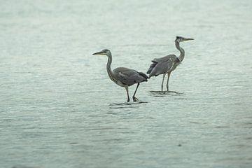 Grey Heron Meeting van