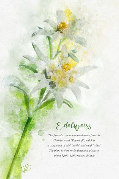 Edelweiss von Theodor Decker